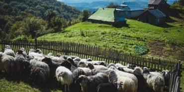 За покликанням – вівчар: як у Карпатах виготовляють сири за оригінальними рецептами. ФОТО+ВІДЕО