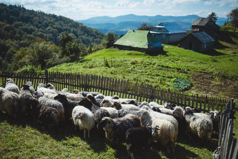 За покликанням - вівчар: як у Карпатах виготовляють сири за оригінальними рецептами. ФОТО+ВІДЕО
