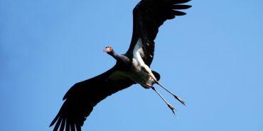На Прикарпатті орнітологи слідкують за гніздом чорного лелеки