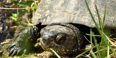 В озері на Прикарпатті поселились черепахи. ФОТО