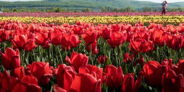 На Буковині відбудеться фестиваль тюльпанів. ВІДЕО