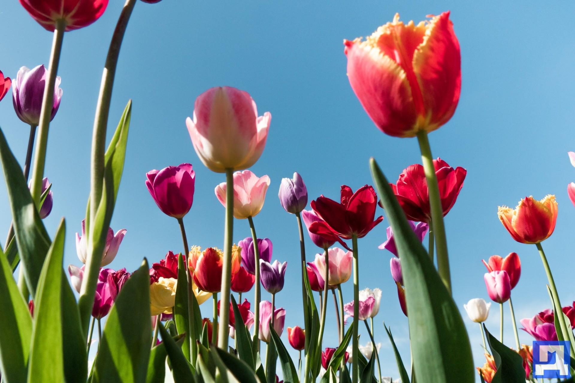 маленькие картинки с тюльпанами растет