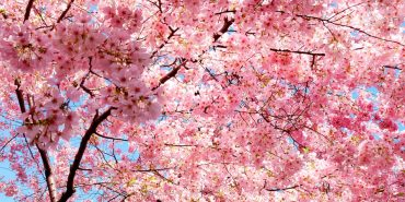 На Прикарпатті масово розквітає сакура. ВІДЕО