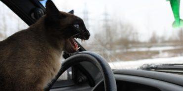 Кіт вистрибнув на кермо та став винуватцем аварії. ФОТО