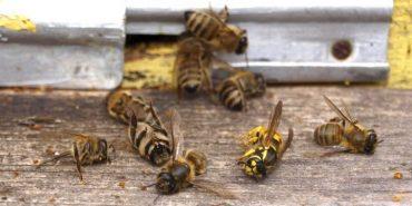 На Прикарпатті через обробку полів продовжують гинути бджоли