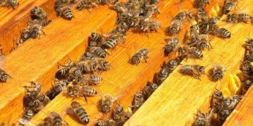 На Прикарпатті загадково гинуть бджоли. ВІДЕО