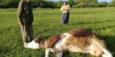 """На Франківщині через обприскування полів занедужало 16 корів, дівчину-пастуха забрала """"швидка"""". ФОТО"""