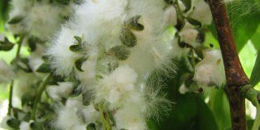 Пух тополі насправді захищає від алергії, – лікарі