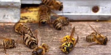 В Україні через пестициди масово гинуть бджоли