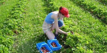 У Польщі може згнити полуниця, бо українці її не збирають