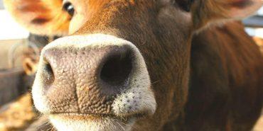 Аграріям Прикарпаття виділять понад 2,5 млн. грн на утримання корів