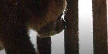 На Прикарпатті селяни знайшли перелякане ведмежа, яке боялося злізти з дерева. ФОТО