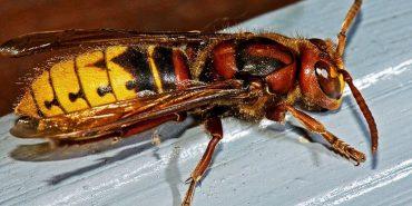 Прикарпатцям дошкуляють агресивні комахи. ВІДЕО