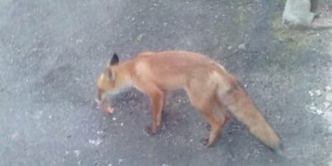 У самому центрі Коломиї помітили лисицю. ФОТОФАКТ