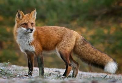 Вулицями Коломиї розгулює лисиця