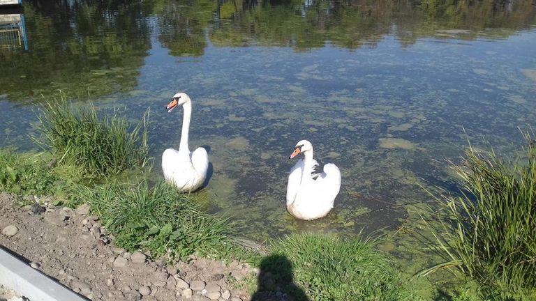 На міському озері в Коломиї оселилася пара лебедів. ФОТОФАКТ