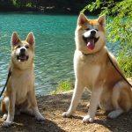 1-Акита-ину – порода собаки Хатико
