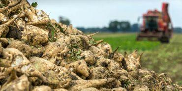 На Прикарпатті завершили збирання цукрових буряків, врожайність – одна з найвищих на Україні