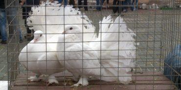 У Коломиї можна було побачити унікальні породи голубів та придбати їх