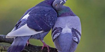 Незабаром в Коломиї пройде виставка спортивних та декоративних голубів