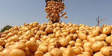 Прикарпатські аграрії зібрали понад 1 мільйон тонн картоплі