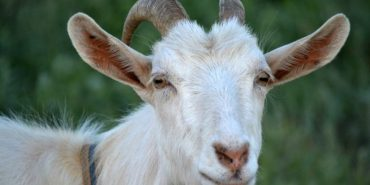 У селі на Коломийщині оголосили карантин через сказ кози