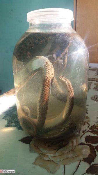 Цілюща отрута: як на Франківщині жінка лікує людей зміїною настоянкою. ФОТО
