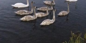 На міському озері зграя лебедів та качок милують око