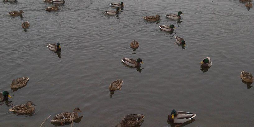На міському озері голодні качки потребують допомоги