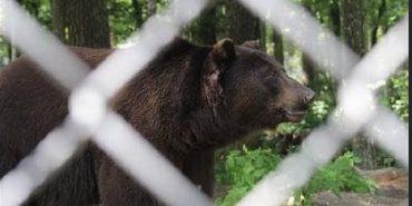 Погладшав і перестав боятися людей: як живеться врятованому ведмедеві Тайсону з Коломийщини. ФОТО