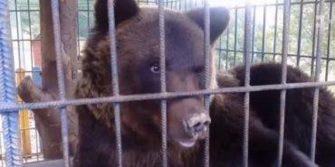 У Карпатах на базі відпочинку ведмідь напав на туристку –  у жінки поламані кістки. ВІДЕО