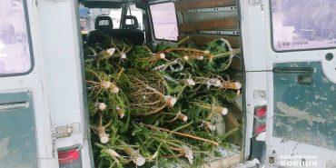 На Прикарпатті відкрили перші кримінальні справи за незаконно зрубані ялинки. ВІДЕО