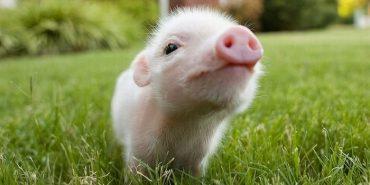 Що треба знати про рік Жовтої Свині: прикмети на 2019-ий