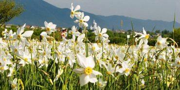 """На Франківщині проходить операція """"Першоцвіт"""". Штрафи за незаконне збирання квітів досягають 3600 грн"""