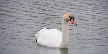 На міському озері в Коломиї оселилися лебеді. ФОТОФАКТ