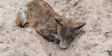 Не паліть траву! У мережі опублікували моторошні фото обгорілих тварин