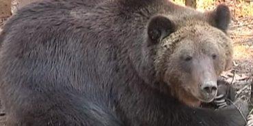 Нарешті прокинулись: у Центрі реабілітації диких тварин врятовані ведмеді виходять з зимової сплячки