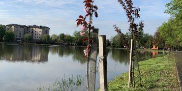 Як цвітуть сакури на коломийському озері. ФОТО