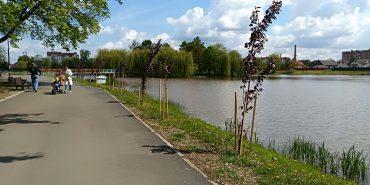 Куди поділись коломийські сакури? На міському озері зникли молоді дерева. ФОТО
