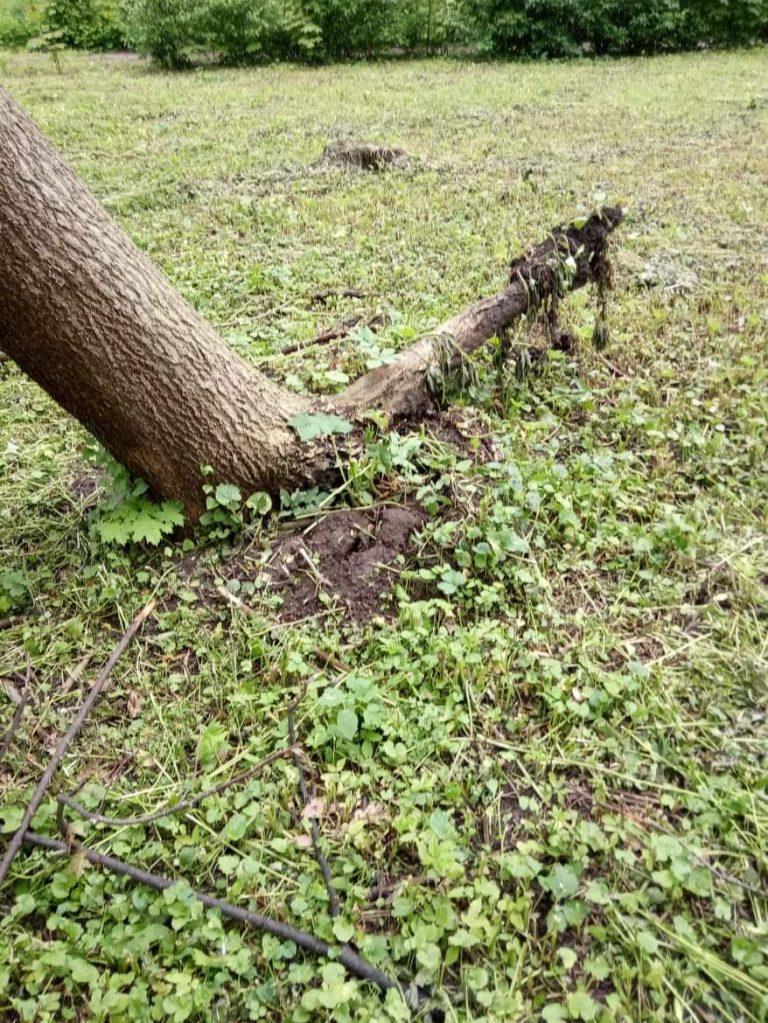 У парку дерево похилилося разом з корінням